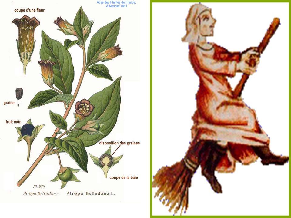 Atropa belladona 2.jpg