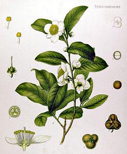 Camellia sinensis.jpg