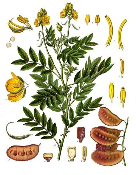Cassia angunstifolia.jpg