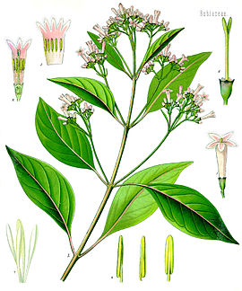 Cinchona officinalis.jpg
