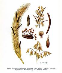 Claviceps purpurea.jpg