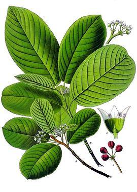Rhamnus prusiana.jpg