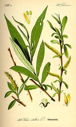 Salix alba.jpg