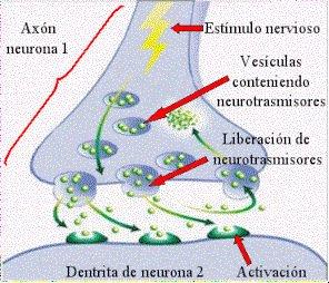 Sinapsis_neuronal.jpg