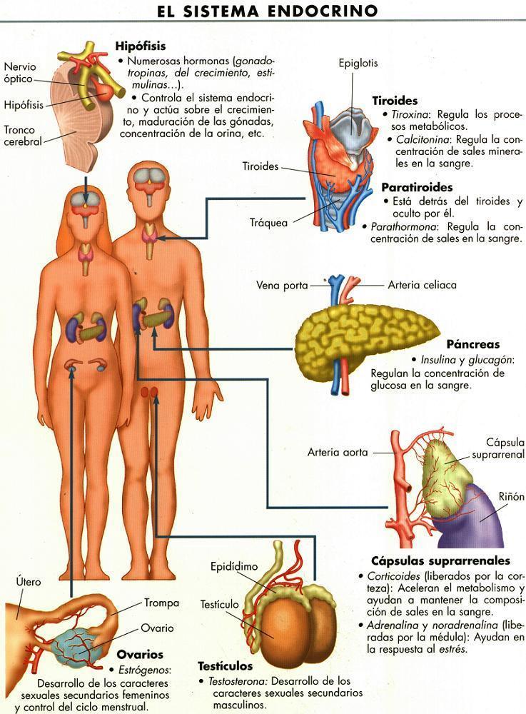 Sistema_endocrino1.jpg