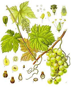 Vitis vinifera.jpg
